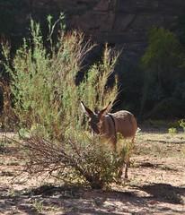 I See You (appaIoosa) Tags: appaloosa appaloosaallrightsreserved arizona az canyondechelly din navajo naabeeh navajonation navajoreservation navajonationreservation tsyi antelopehousetours benteller tlii burro donkey
