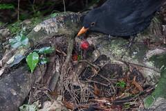 Blackbird (Turdus merula) and Maire tawaki (Eugenia marie) ? (Nga Manu Images NZ) Tags: blackbird eugeniamaire fscientificnames feeding marietawakiswampmarie plantsandfungi trees turdusmerula