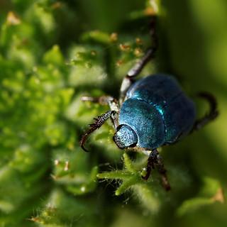 Hoplia coerulea mâle