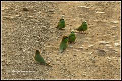 6574 - green bee-eaters (chandrasekaran a 38 lakhs views Thanks to all) Tags: greenbeeeater birds tadoba maharashtra chandrapur tatr tigerreserve jeep safari tiger forest india travel canon powershotsx60hs