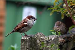 Sparrows (NTG842) Tags: stalybridge tameside england sparrows garden birds wildlife