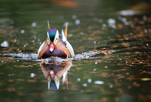 Pato Mandarin macho / Mandarin duck male / Aix Galericulata