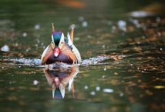 Pato Mandarin macho / Mandarin duck male / Aix Galericulata (vic_206) Tags: pato duck parqueterranostra azores furnas canoneos7d canon70200f28lisii agua water reflejo reflection patomandarinmacho mandarinduckmale aixgalericulata