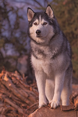 Timber (Cruzin Canines Photography) Tags: animal animals canon canine canoneos5ds canon5ds 5ds eos5ds tamron tamron28300mmf3563divcpzd nature naturallight hartpark bakersfield california kerncounty outdoors outside mammal dog dogs domestic domesticanimal pet pets husky alaskanhusky siberianhusky timber evening goldenhour sunset sundown portrait