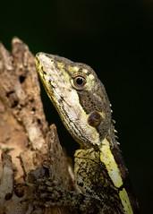 Gilbert's Dragon (Michael Aagaard Photography) Tags: agamid animal animals australia australian d5200 dof darwin depthoffield dragon lizard nikon nikond5200 northernterritory outdoor outdoors sigma lizards