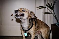 Pino macht ernst (Smo42) Tags: hund tier leckerli futter svhnappen zhne biss sonya77ii sal1650