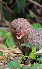 Yummy..... (Dr.Bhattu) Tags: indian grey mongoose or common herpestes edwardsii yummy drbhattu wildlife photography hyderabad telangana india portrait