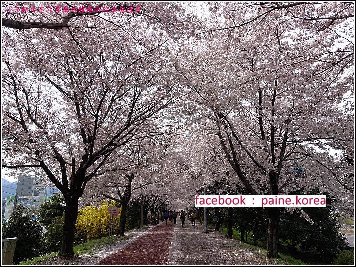釜山沙上江邊公園櫻花路 (4).JPG