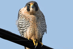 2011-01-26 Peregrine Falcon (02) (1024x680) (-jon) Tags: anacortes skagitcounty washingtonstate falcoperegrinus peregrinefalcon padillabay bayviewedison bird raptor birdofprey birdonawire a266122photographyproduction d90archives falcon skagit peregrine