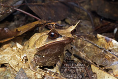 IMG_6817-0(W) Sideview of Malayan Horned Frog (Megophrys nasuta) (Vince_Adam Photography) Tags: rainforest wildlife amphibian camouflage malaysia frogs herp herps herpetology brownleaves tropicalforest browncolor anura driedleaves amphibia katak amfibia chordata vertebrata herpetofauna megophryidae megophrys herpertofauna longnosedhornedfrog megophrysnasuta malayanhornedfrog malayanleaffrog duaalam herpertology frogsofborneo frogsofmalaysia frogsofasia kataktanduk frogsofsoutheastasia