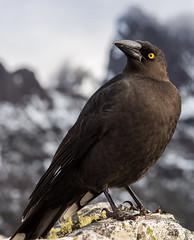 Black Currawong (Scott Godwin) Tags: snow black bird animal wildlife australia alpine tasmania currawong cradlemountain streperafuliginosa