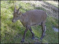 Bouquetin femelle ou tagne (wilphid) Tags: montagne animaux chamonix parc montblanc sauvage hautesavoie faune leshouches parcdemerlet