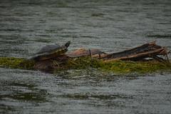 Not quite 'sunning' when it is raining (radargeek) Tags: statepark log florida turtle fl wakullasprings