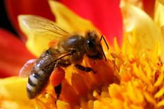 Bussybee (Pinky0173) Tags: canon bee pollen biene honig oney bussybee fleisig pinky0173 thrunfotografiede