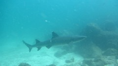 White tip reef shark / tintorera (raimundo hamilton) Tags: shark diving galapagos canond30 buceo tiburn
