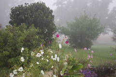 Front Walk, September 2015 (marylea) Tags: misty fog garden foggy lilac cosmos whitepine weigela 2015 frontwalk sep25