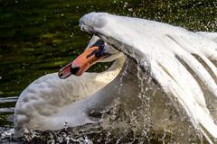 Badespa 150924 063.jpg (juergen.mangelsdorf) Tags: germany deutschland schwan braunschweig cygnusolor niedersachsen hckerschwan naturschutzgebietriddagshausen