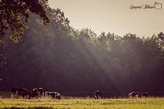 Allgäu Idyllic Scene (meepeachii) Tags: allgäu bayern bavaria cows cow kühe wiese weide sun sonne beams light trees tree strahlen licht bäume wald forest deutschland germany nikon meadow