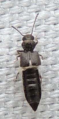 Tiny black rove beetle