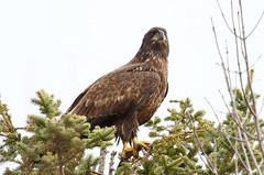 Immature Bald Eagle (Photos by Dennis Swayze) Tags: baldeagle manitoba immaturebaldeagle heclaisland manitobaeagles
