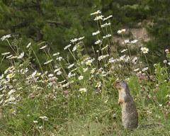 Trying to look over the flowers (Archie Richardson) Tags: alberta banff gopher groundsquirrel morantscurve