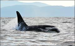 e DSC_0832 20151122 (Selena Rhodes Scofield Photography) Tags: ocean whales orca victoriabc killerwhales sooke orcinusorca racerocks salishsea southernresidentkillerwhales lpod l95 selenarhodesscofieldphotography