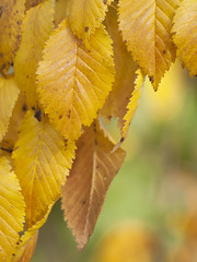 Feuilles d'automne ** (Titole) Tags: leaves yellow automne autumn titole nicolefaton friendlychallenges thechallengefactory unanimouswinner
