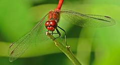 Blutrote Heidelibelle, Sympetrum sanguineum (staretschek) Tags: libelle mnnchen blutroteheidelibelle segellibelle rotelibelle libellerot sympetrumsanguineumgroslibelle