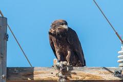 Juvenile Bald Eagle enjoys a prairie dog for breakfast