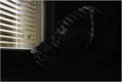 Waiting (Jukka75) Tags: light portrait dog pet black window animal canon eos big waiting great dane 60d