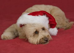 santas-tired--shes-one-of-princess-and-chewys-puppies-_4178040956_o