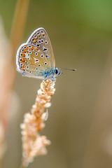 DSE_7983 (alaing40_photos) Tags: papillon insecte argusbleu
