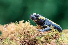 Fire Salamander (Bill McBride Photography) Tags: nature canon fire eos rebel wildlife small amphibian august salamander captive 2012 xsi salamandrasalamandra firesalamander 450d ef10028lmacro