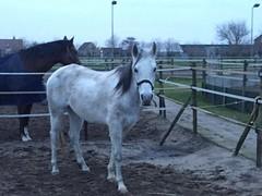 Ik kom wel dichterbij (gill4kleuren - 12 ml views) Tags: horse white me beauty fun outside happy riding together gill anisa paard pret hengst arabier
