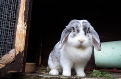 RSPCA bunny (rjmiller1807) Tags: cute rabbit bunny animals december cutie whiskers hutch bun oxfordshire kaninchen rspca harwell 2015 pawsnclaws foundahome rehoming