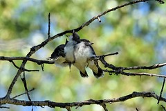 Eastern Kingbirds - Tyrannus tyrannus (jessica.rohrbacher) Tags: eastern kingbird bird avian fledgling tyrannus tyrannidae calgary alberta canada