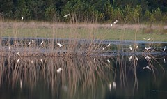 A Closer View (Plummerhill) Tags: egrets greategrets roost indiana