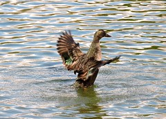 Duck (deannewildsmith) Tags: duck bird earthnaturelife