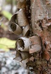 DSC_9796 (devoutly_evasive) Tags: minnesota mn grandportage statepark autumn fall usa curls coils peel peeling birch birchbark forest tree