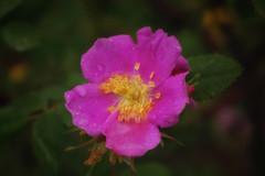 Wild Rose (sheiro) Tags: wildrose macro raindrops sheiro