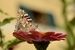 Butterfly (Antonio Cinotti ) Tags: nikond7100 nikon d7100 nikon1685 butterfly flower nature animal