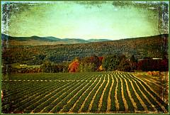 Fraises d'automne- Autumn's Stawberry (Huguette T.) Tags: automne paysage fraisiers nature texture profondeur montagnes couleurs