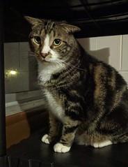 2016- Hank 03 (teresamarkos) Tags: cat cats kitten kittens felines feline