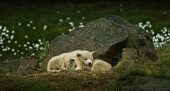 grnlandshund (richy vanesio) Tags: tasiilaq greenland groenlandia grnlandshund greenlanddog dog pets angmagssalik eastgreenland ostgronland explore