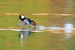Hooded merganser taking off (Daniel Q Huang) Tags: merganser flying splash ducks autumn hfg hodded birds waterfowl aquatic bird