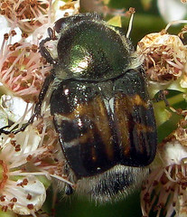 Hairy Flower Scarab Beetle (adamantine) Tags: scarabaeidae subfamily cetoniinae tribe trichiini species trichiotinus affinis