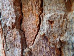 Bloodwood tree bark (jo.elphick) Tags: burrill lake nsw australia