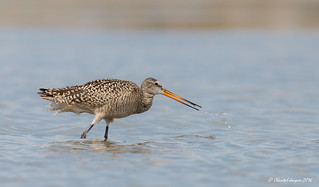 Spitting Marbled Godwit, Chaplin Lake, Saskatchewan
