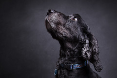 Mylo (Simon Kitt Photography) Tags: 17 2 40 5d canon cocker dog elka english hound ii kitt l lens light miles milo mk mkii mk2 mylo portrait pure series show single spaniel two mm