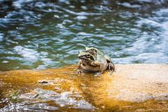 IMG_4876 (Brett Kotch!) Tags: frog amphibian green water blue rock colours nature natural animals naturaleza outdoors photography natgeo beauty taiwan asia mothernature yellow macro bokeh closeup upclose eyecontact travel explore animal outdoor